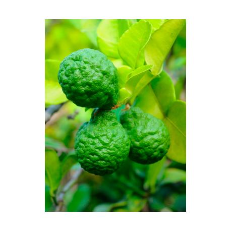 Purasana - Essential Oil Bergamot - Citrus bergamia Organic 10 ml
